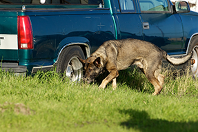 Explosive Detection Dogs (EDDs)